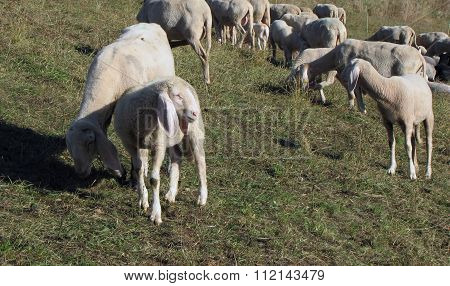 Sheep Graze On The Hill In Autumn