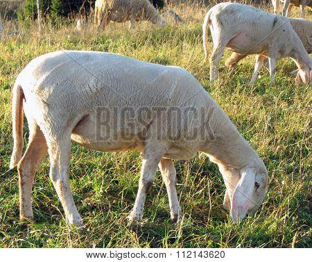 Sheep Grazing The Grass