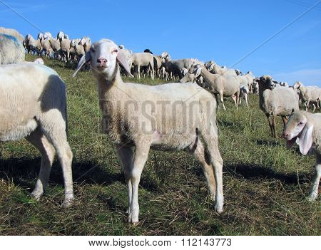 Lamb With Many Sheep Grazing In The Meadow