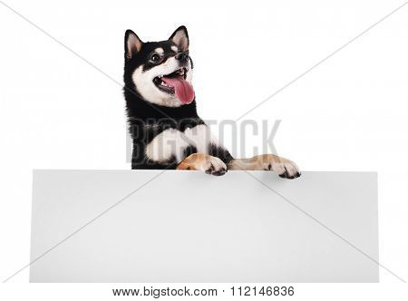 Sia inu and banner isolated on white