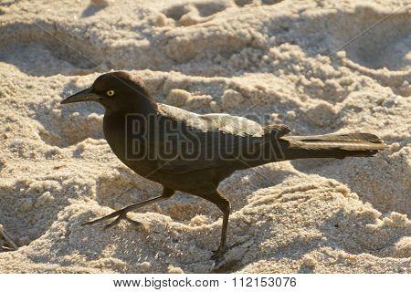 Wary Blackbird In The Sand