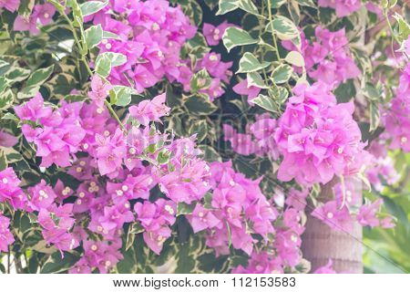Selective Focus Of    Bougainvillea Flowers With Filter Color