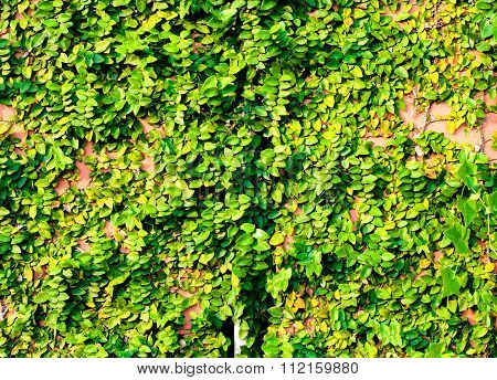 The Green Creeper Plant On Red Wall