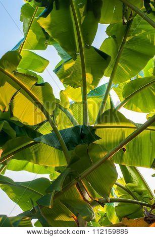 Green Banana Leaves Of A Banana Tree