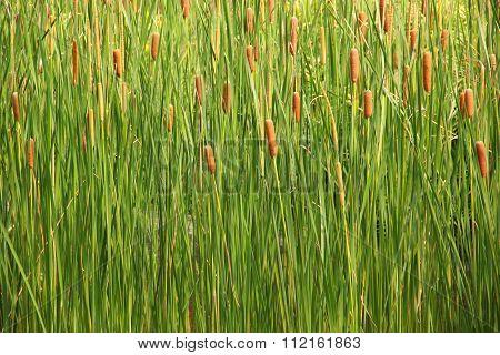 Cattail (typha Angustifolia)