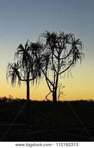 Pandanus Trees In The Sunset