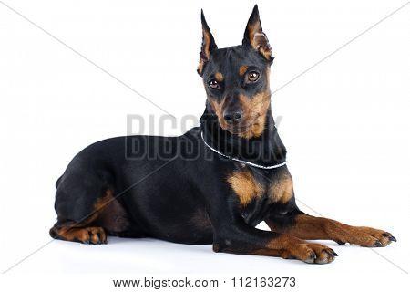 Miniature Pinscher dog, zwergpinscher