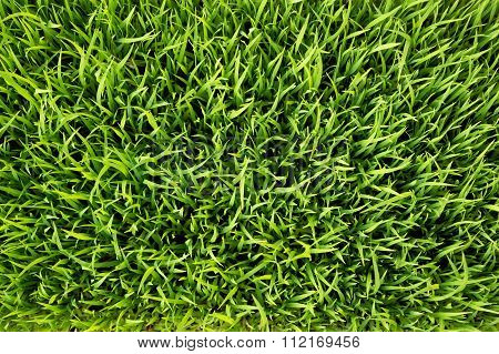 Top view Green rice seedlings leaf cornfield nature background