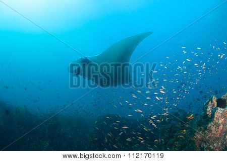 A giant oceanic manta ray at a cleaning station