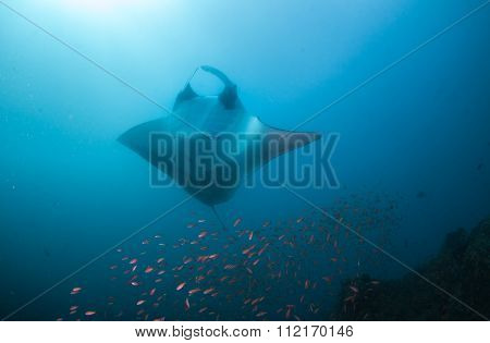A manta ray posing belly-up for a photograph