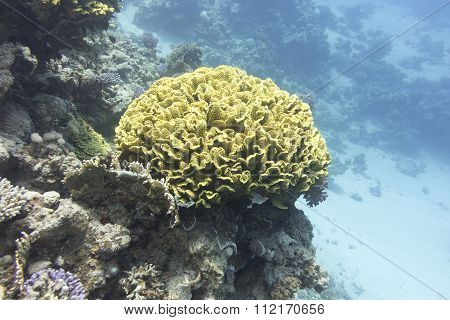 Coral Reef With Yellow Coral Turbinaria Mesenterina,  Underwater