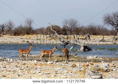 Heard Of Impala Antelope