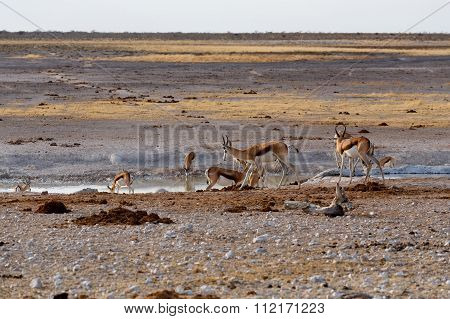 Herd Of Springbok On Waterhole