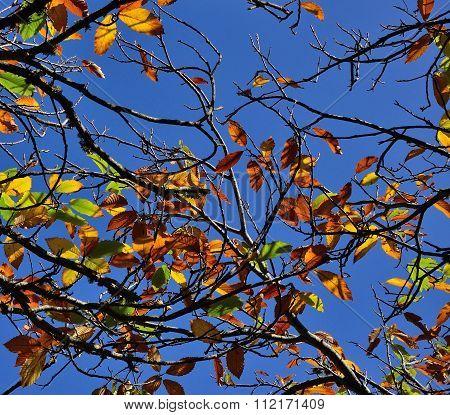 Autumnal chestnut tree