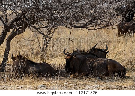 Wild Wildebeest Gnu