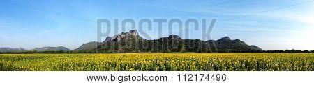 Sunflower Fields Panorama