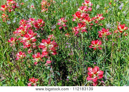 Closeup Of Bright Orange Indian Paintbrush Wildflowers In Texas