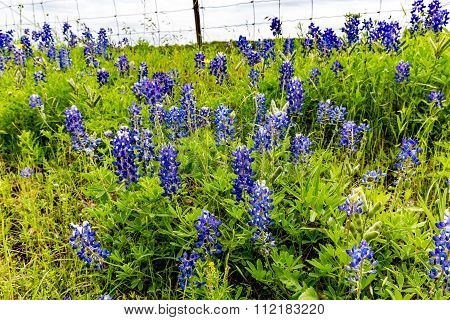 Texas Bluebonnet (lupinus Texensis) Wildflowers Near A Barbed Wire Fence
