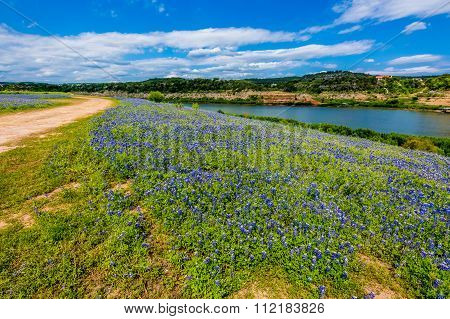 View Of Famous Texas Bluebonnet  Wildflowers On The Colorado River