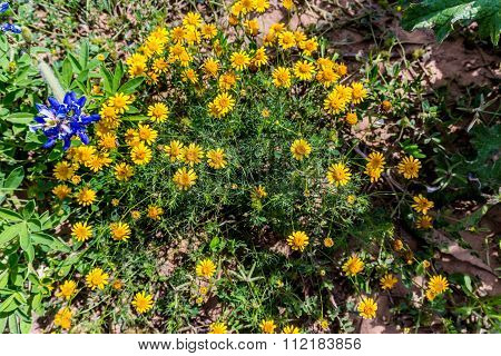 Beautiful Bright Bristle-leaf Dyssodia  Wildflowers In A Field Of Texas Bluebonnets.