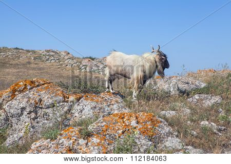 Himalayan goat in the wild