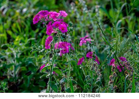 Red Or Purple Drummond Phlox Wildflowers