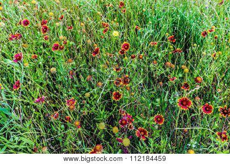 Indian Blanket Wildflowers In Texas