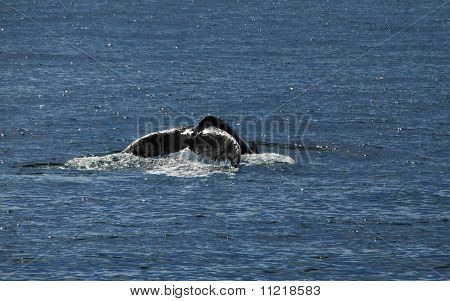 Humpback flukes in Maine