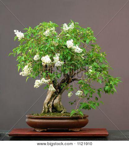 Lilac Bonsainin Bloom