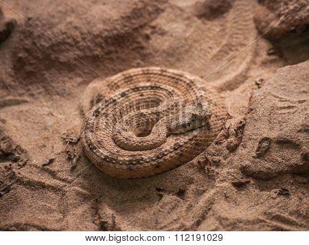 Rattlesnake on sand