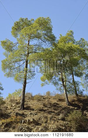 Calabrian Or Turkish Pine Trees