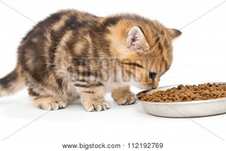 British Kitten Eats Dry Food