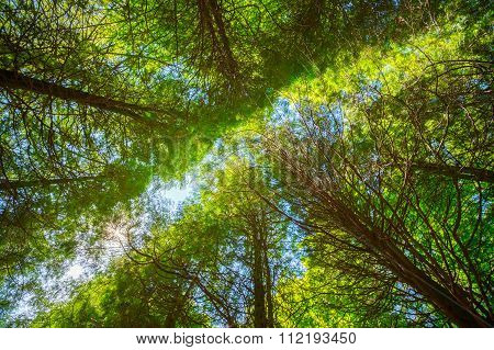Summer Sun Shining Through Canopy Of Tall Trees. Upper Branches