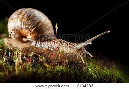Snail Crawling In Moss