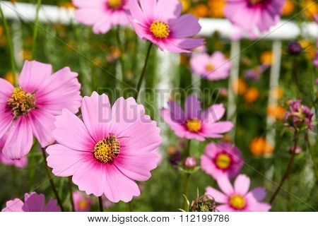 Bee Collect Pollen From Pink Sulfur Cosmos Flower
