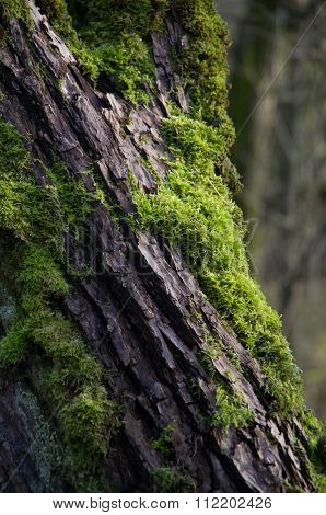 Green moss on the tree bark