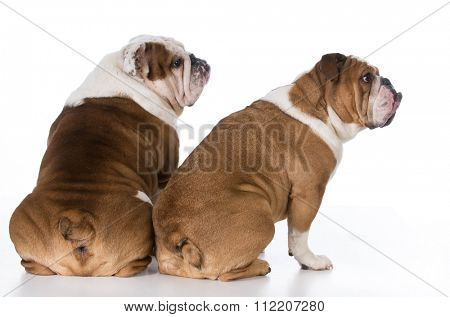 two english bulldog from backside looking over shoulder