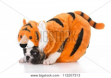 bulldog puppy wearing tiger costume on white background