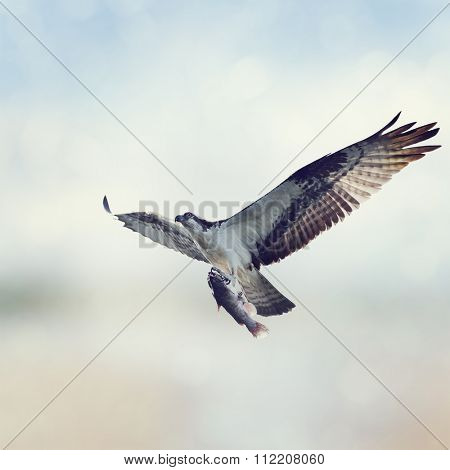 Osprey with Fish in Flight