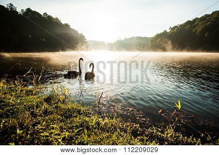 Black Swan On Lake