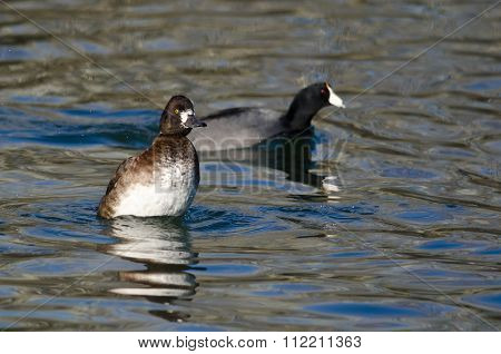 Female Scaup Rising High In The Water