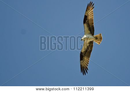 Osprey Hunting On The Wing In A Blue Sky