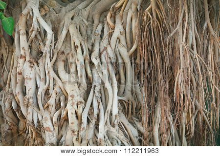 Roots of ficus giant
