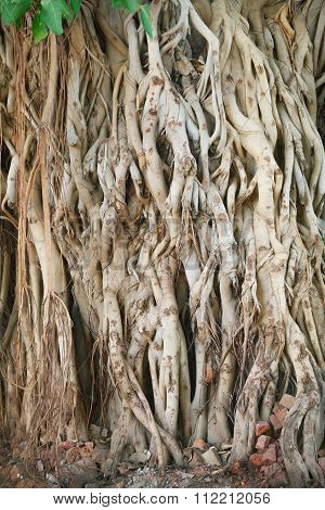 Roots of old ficus giant