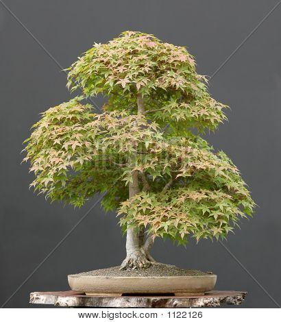 Maple Bonsai In Summer