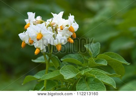 Flowers Of Potato In The Garden