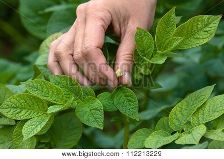 Hand Picking Flowers From Potatoes