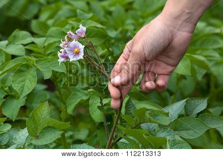 Hand Picking Flowers From Potatoes, Closeup