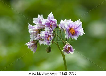 Potato Flowers In The Garden, Closeup
