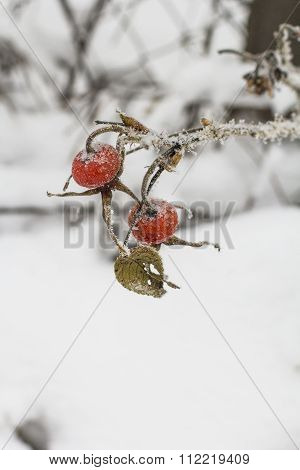 winter landscape background red rose hips on a branch froze